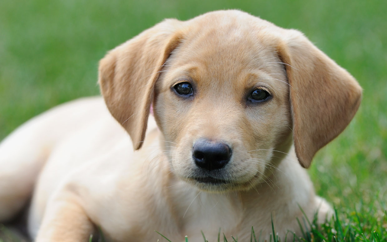 labrador-america-top-dog-breed-ftr